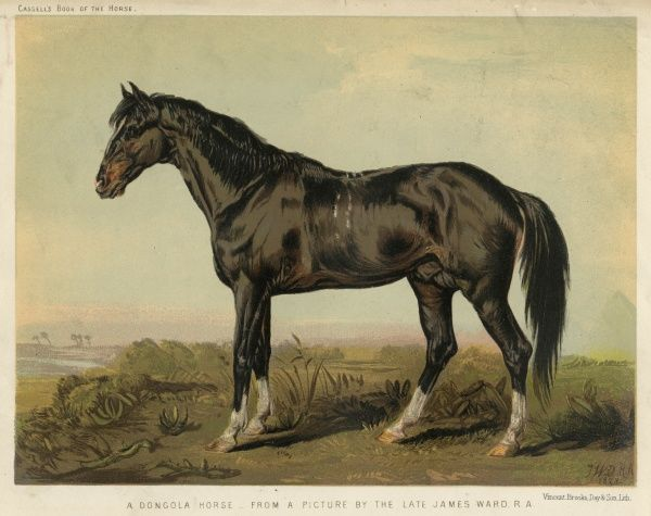 A Dongola horse. Date: late 19th century