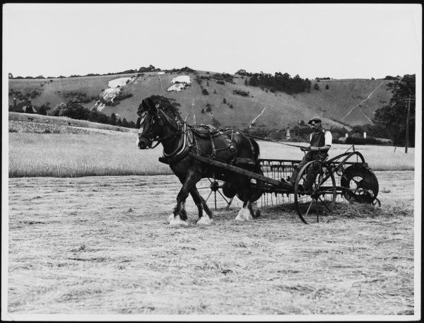 Turning the hay using a a pony- drawn reaper, near Reigate, Surrey