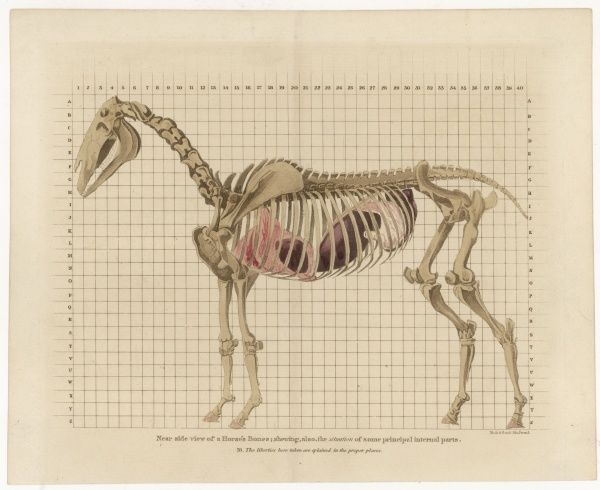 'Near side view of a Horse's Bones : showing also the situation of some principal internal parts' - a beautiful engraving !