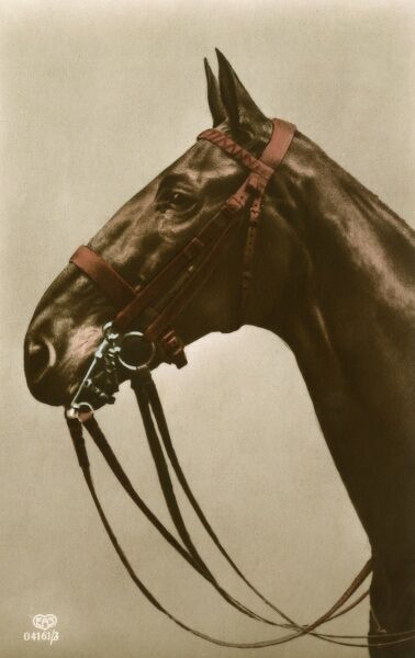 A fine brown horse wearing double bridle with curved chain. Date: circa 1910s