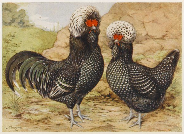 Houdan cock and hen