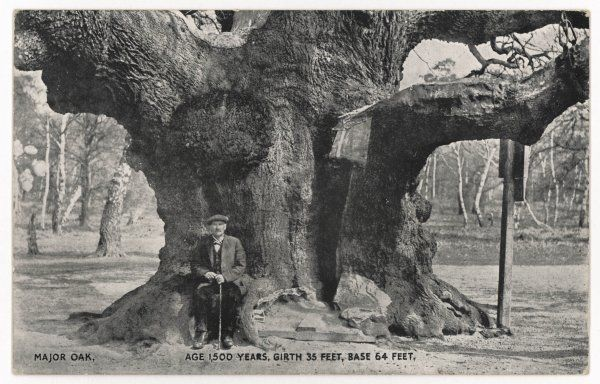 Major Oak: a huge oak tree believed to be 1500 years old, with a 35 foot girth and 64 foot base