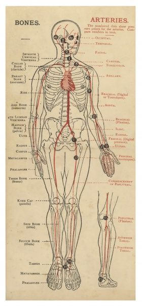 A diagram of the human body, with details of bones and arteries