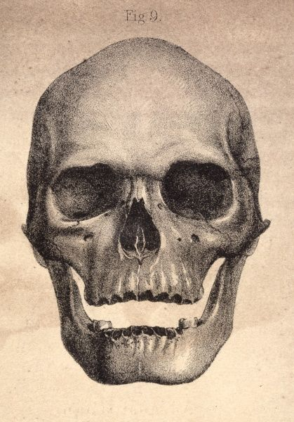 Illustration of the human skull