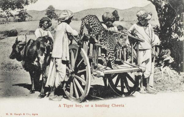 A hunting cheetah is carried in an ox-pulled cart to the place where game are to be hunted. The huntsmen follow and call back the animal when it has caught the prey (often antelope)