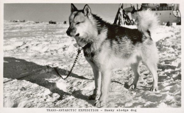 A husky sledge dog on a trans- Antarctic expedition