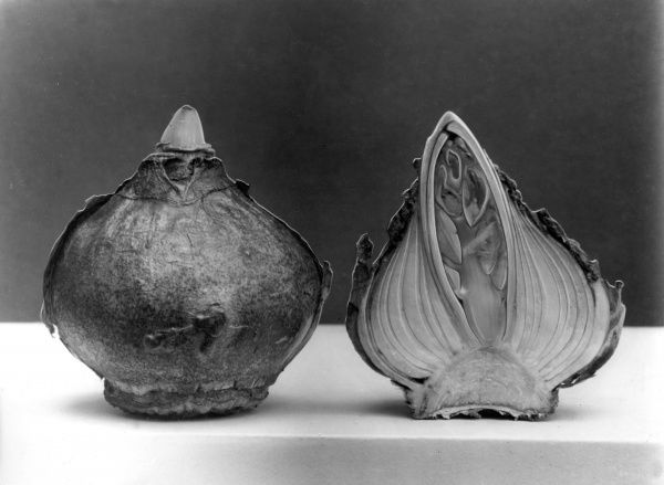 A hyacinth bulb cut in two, with a section clearly showing the leaves and flower inside the bulb. Date: 1960s