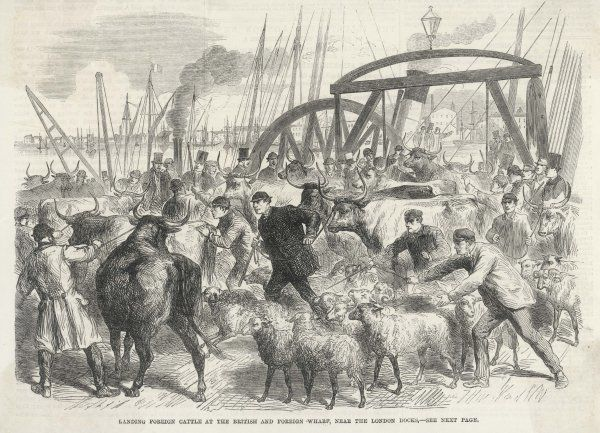 Foreign cattle are landed at the British and foreign wharf, near the London docks