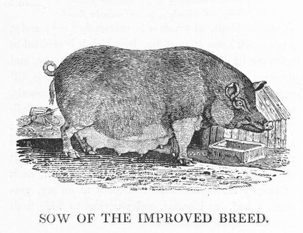 A mixture of Chinese Black Swine with the larger British breed, this busy sow produced three litters (50 pigs) in ten months for Arthur Sherburn of county Durham