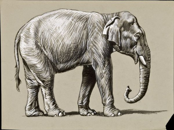 Detailed study of an Indian Elephant. Pastel drawing by Raymond Sheppard