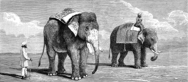 Engraving showing two male Indian elephants belonging to the Rajah of Puttiala, 1884