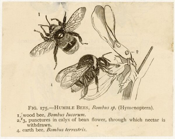 Humble bees; the wood bee (top) and earth bee (bottom)