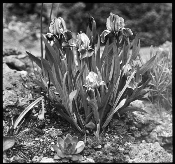 Iris Pumila (Dwarf Iris), a natural hybrid iris of the Iridaceae family. Seen here growing in a rocky setting