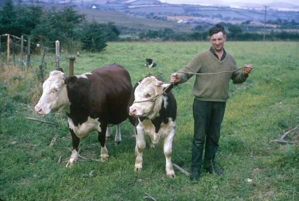 An Irish farmer poses for his photo with a bull on a rope with a ring in its nose, and a cow. (3 of 3)