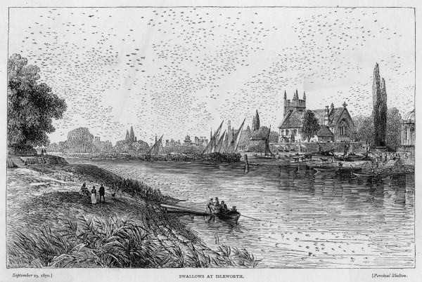 Swallows congregate over the Thames at Isleworth, London