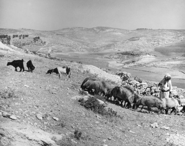 A shepherd in the arid fields around Bethlehem, Israel. Date: 1960s