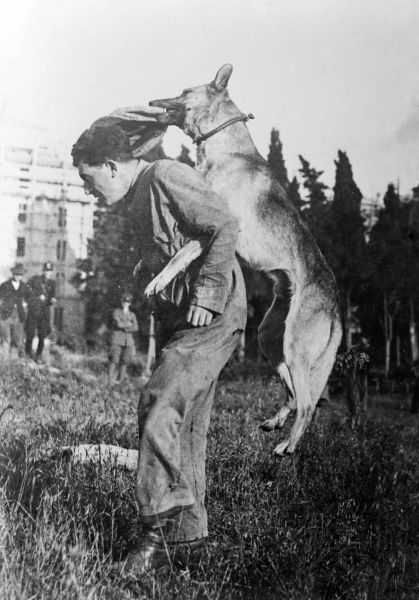 An Italian police dog which has been trained to attack. Date: early 1930s