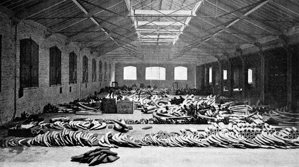 The entire floor of one warehouse at the London Docks devoted to ivory with elephant and other tusks laid out in rows