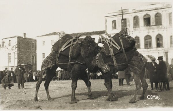 A camel fight at Izmir (Smyrna), Turkey. The two beasts of burden lock humps as the crowd watches on!