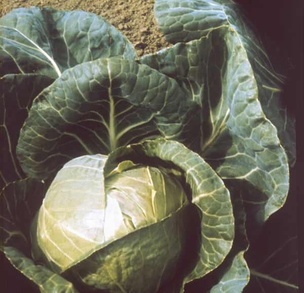 A 'June Star' cabbage. Date: 1969