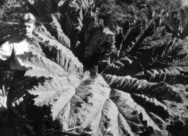 Jungle leaves are tremendous - this rhubarb leaf can reach a diameter of 10 feet. Date: 1930s
