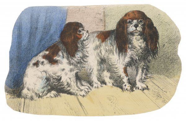 King Charles Spaniel - Blenheim