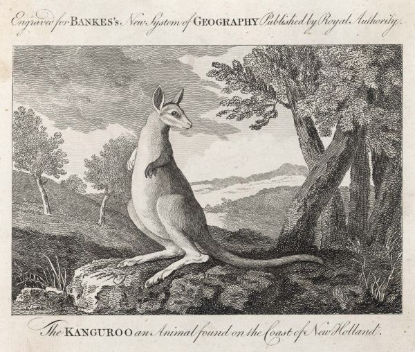'The KANGUROO an Animal found on the Coast of New Holland' - the kangaroo as first depicted by Cook's expedition to Australia