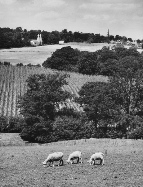 Grazing sheep, hopfields and distant oasthouses, a very characteristic combination for a Kentish (England) landscape, near Hawkshurst