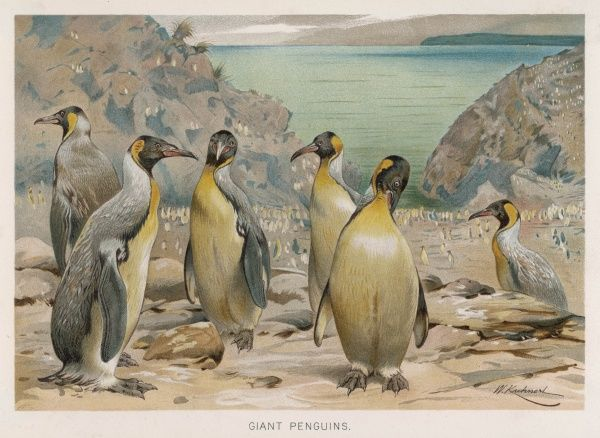 A colony of King Penguins (Aptenodytes pennanti)