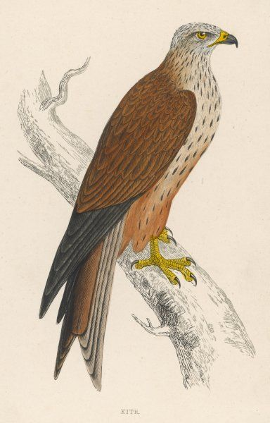 (Milvus ictinus) Also known as the Gled or Glead, from its gliding flight and as the Red Kite