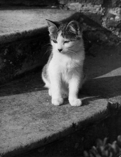 A cute kitten sitting on some old stone steps. Date: 1950s