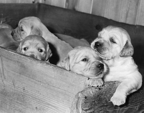 Four labrador puppies in a wooden box. Three of them are looking sleepily at the camera