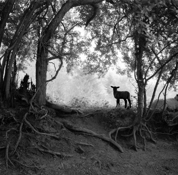 A Lamb in a Worcestershire Wood. Photograph by Norman Synge Waller Budd