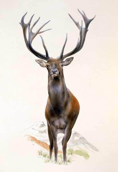 A Large Red Deer Stag (Cervus elaphus), with impressive antlers. Painting by Malcolm Greensmith