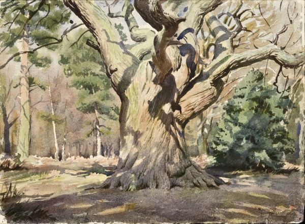 The magnificent sight of a large woodland tree. Watercolour painting by Raymond Sheppard