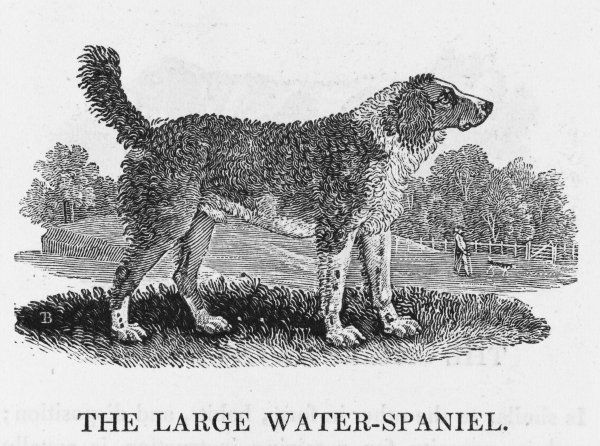 Classed by Bewick as THE LARGE WATER-SPANIEL, 'valuable for its great docility and attachment to its master&#39