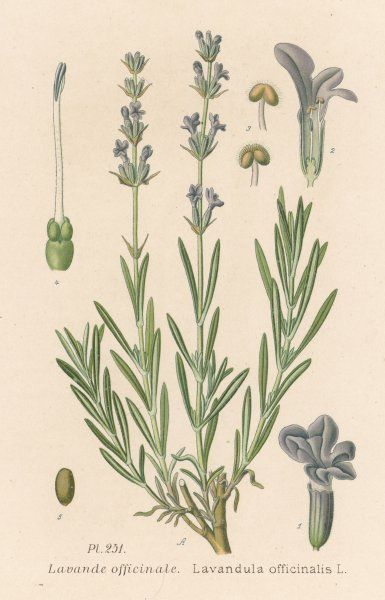 COMMON LAVENDER indistinguishable from several other species of lavender, such as L. angustifolia