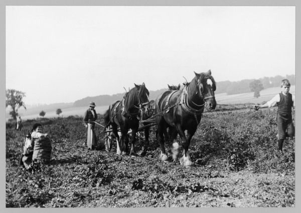 Potato lifting using horses and plough, near Rickmansworth, Hertfordshire
