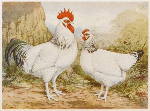 Light Sussex cock and hen