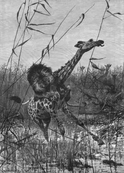 A giraffe is attacked by a lion in an African swamp. Date: 1907