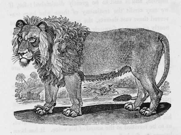 Felis leo 'This animal is produced in Africa, and the hottest parts of Asia' according to Bewick