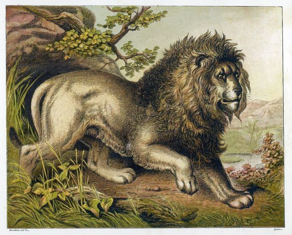 A fierce-looking lion from the Atlas mountains of North Africa. (panthera leo)