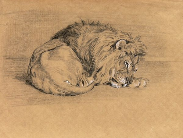 A large male lion asleep. Pencil and conte crayon drawing by Raymond Sheppard