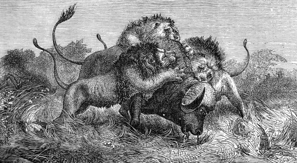 Engraving showing three lions attacking a large buffalo, as seen and sketched by Mr. Oswell and Major Vardon on a trip to South Africa, c.1857