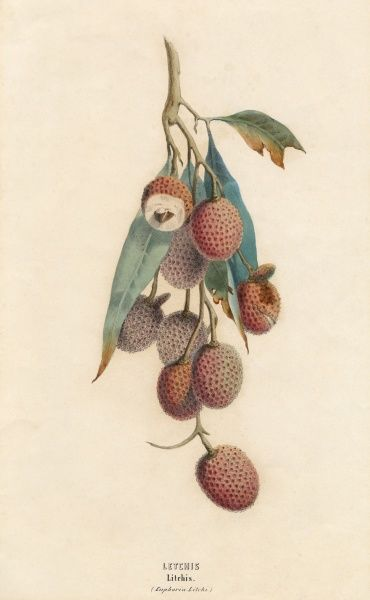 euphoria litchi A cluster of litchi fruit : introduced to the west from the Chinese province of Fukien in the 1840s, this must be one of the earliest depictions. Date: circa 1845