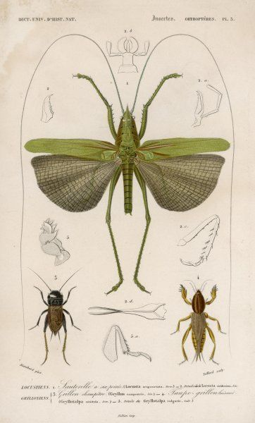 locusta sexpunctata (grasshopper of six points)