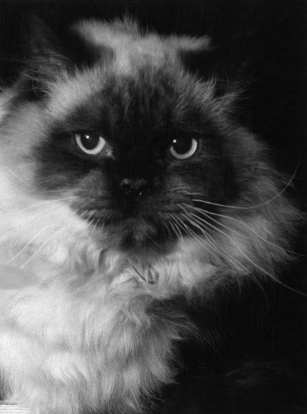 The head of a long-haired Siamese cat. Date: 1960s