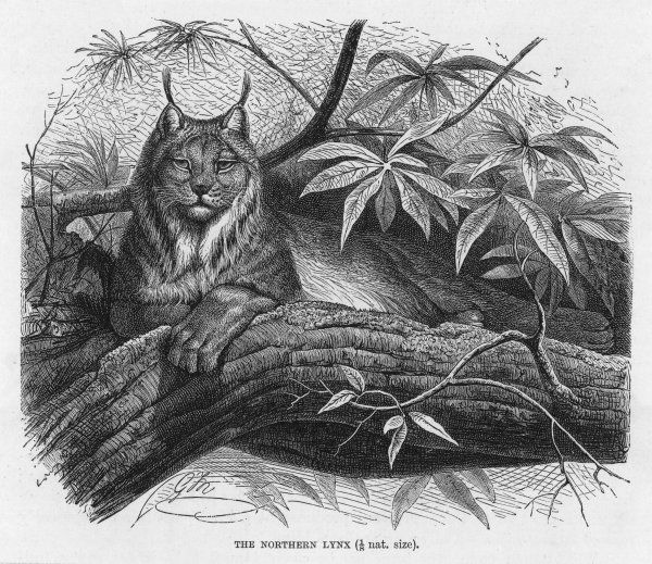(felis lynx) There are several species of lynx - this is the Northern Lynx