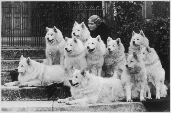 Miss Marion Keyte Perry with her 10 champion Samoyeds. Their kennel name is 'of the Arctic.' Miss Perry's neat hairstyle contrasts with the fluffy white coats of her dogs