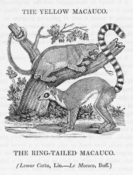 lemur catta : the one in the tree is a YELLOW MACAUCO, and he is looking enviously at the RING-TAILED MACAUCO. Both are beautiful, but that tail certainly gives an edge